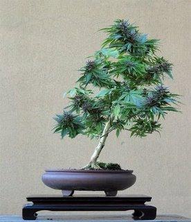marihuanahhh